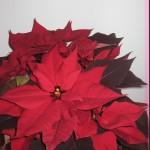 Joulukukat saapuivat; Amaryllikset, hyasintit, joulutähdet ym.